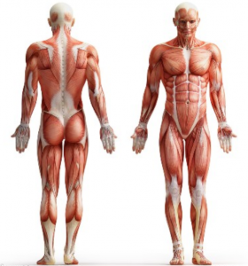 The body skeletal muscles